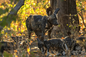 Dogs, Puppies, and Help: Nicholas African painted wolves aka wild dogs are obligate co-operative breeders with only the alpha female breeding. All pack members, both related as well as unrelated help with raising the puppies.