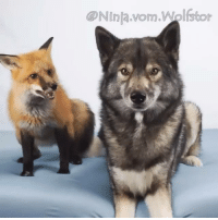 Dank, Introvert, and Ninja: NInja.vom.Wolsto When extrovert tries to befriend introvert.  By D'Ninja vom Wolfstor