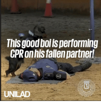 Dank, Dogs, and 🤖: nisgood boi ls performing  CPR onhis fallen partner  UNILAD We REALLY don't deserve dogs 🙌❤️