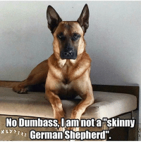 I go through this on a regular basis with my boy... He is a Malinois. They are beautiful beasts 😉😍🐺💙🐾: No Dumbass  am not a skinny  xR German Shepherd' I go through this on a regular basis with my boy... He is a Malinois. They are beautiful beasts 😉😍🐺💙🐾