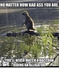 Ass, Bad, and Cute: NO MATTER HOW BAD ASS YOU ARE  YOULL NEVER MATCH ARACCOON  藭 RIDINGANALLIGATOR 15+ Cute & Funny Animal Pics Of The Day 1 – 8 – 2018