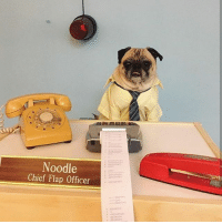Dogs, Funny, and Love: Noodle  Chief Flap Officer Our CFO (CHIEF FLAP OFFICER) is looking for a summer intern! Noodle is a ruthless but fair boss! noodlesintern . This is a part time paid position available in NYC. If you are funny, love dogs, are super organized, and are OPEN TO spending 10 mins a day massaging Noodle's face, send your resume + cover letter to postintern@barkbox.com 🐶📠📟