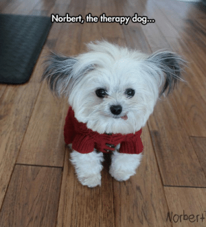 Tumblr, Blog, and Http: Norbert, the therapy dog  orbert srsfunny:Tiny Therapy Specialist