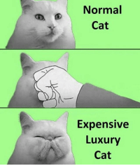 Ass, Cats, and Life: Normal  Cat  Expensive  Luxury  Cat My entire life my mom had Himalayans and they all looked like they had been hit in the kisser with a frying pan but damnit if they weren't gorgeous. Me? I just grab cats off the street. I like street savvy long nose boys. This is a highly specific meme but worth seeing for the few of you with fancy ass felines.