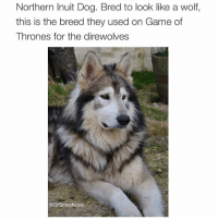 "Bless Up, Corgi, and Dogs: Northern Inuit Dog. Bred to look like a wolf,  this is the breed they used on Game of  Thrones for the direwolves  @DrSmashlove Is it just me or is this doggo absolutely majestic AF lol. U can't get a doggo like this and name him ""Fluffy"". U gotta name a doggo like this ""Augustin Maximiliano Fernando de Albuquerque XI"". Literally the 11th, like ""it's only 10 others like him and I got the 11th...fvck with your boy."" This the type of doggo where I tie him to the pole outside Intelligentsia Coffee to cop my double espresso and I come outside and all the other doggos and puppers have formed a semi circle around him and Augustin lecturing them about the quantum no-deleting theorem, u feel me? Like Carl the Corgi found a dead rat and just dropped the dead rat on his human's foot and that human frozen in disbelief that my doggo is giving a fvcking TED talk university lecture on a street corner. Then I untie my doggo and we jog briskly in unison off into the sunset while I grasp my double espresso in my left hand and my spear in my right hand. (I feel like if u got a doggo like this, u also need a spear. Never go halfway in life. Always complete the look 😎). Bless up! 😍😂😂😂"