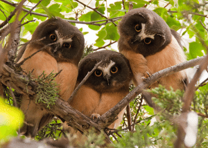 Northern saw-whet owlets | Flickr: sam may: Northern saw-whet owlets | Flickr: sam may