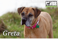 Bad, Bad Day, and Cute: Northwest Boxer Rescue  Greta Happy Friday! We'd like you to meet Greta! This cute gal was found, adopted and then things did not work out, so she's back with her foster Mom  Greta is a loving plus size lady who is waiting for her forever home. If you are looking for a great companion to love you no matter what, watch movies with, be there to listen if you had a bad day, throw some balls with, and never let you down, then Greta is your girl!   For more Info about Greta: http://bit.ly/nwbr-2016Greta