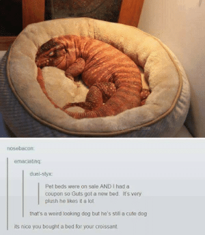 Cute, Weird, and Nice: nosebacon:  emaciatinq  duel-styx:  Pet beds were on sale AND I had a  coupon so Guts got a new bed. It's very  plush he likes it a lot  that's a weird looking dog but he's still a cute dog  its nice you bought a bed for your croissant.