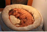 Cute, Target, and Tumblr: nosebacon:emaciatinq:duel-styx:Pet beds were on sale AND I had a coupon so Guts got a new bed.  It's very plush he likes it a lot.that's a weird looking dog but he's still a cute dogits nice you bought a bed for your croissant.
