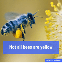 Memes, Awesome Facts, and 🤖: Not all bees are yellow  @FACTS l guff com Xylocopa caerulea (also known as the blue carpenter bee) is found in China, Southeast Asia and India. Also, we know what you're wondering, and no, they don't make blue honey. Thanks to our pals at @Science for the heads up on this awesome fact!
