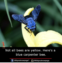 Memes, Blue, and Bees: Not all bees are yellow. Here's a  blue carpenter bee.  f/didyouknowpagel@didyouknowpage