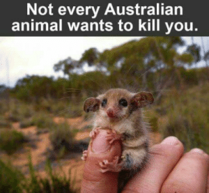 Animal, Australian, and Beast: Not every Australian  animal wants to kill you Look at that bloodthirsty beast