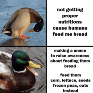 Meme To: not getting  proper  nutritions  cause humans  feed me bread  making a meme  to raise awareness  about feeding them  bread  feed them  corn, lettuce, seeds  frozen peas, oats  instead