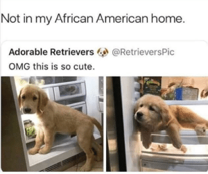 Cute, Dank, and Memes: Not in my African American home.  Adorable Retrievers  OMG this is so cute.  @RetrieversPic Not here baby 😤 by from_brasil MORE MEMES
