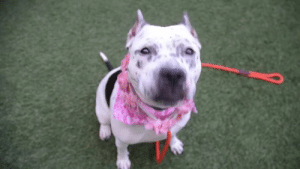 Beautiful, Click, and Dogs: ***NOT RESERVED ROCKSTAR JUPITER WILL BE KILLED SHORTLY AT NYCACC IN MANHATTAN, NY***  ***ADORABLE FRECKLE - FACED VOLUNTEER AND STAFF FAVORITE JUPITER HAS A SMILE AS BIG AS TEXAS AND MATCHING SIZED HEART. BEAUTIFUL INSIDE AND OUT AND HAPPY ON EVEN THE GLOOMIEST DAY - SHE IS OBLIVIOUS TO THE HORRIFIC FATE THAT IS ABOUT TO BEFALL HER WITHOUT AN ADOPTER OR FOSTER! This beauty is well behaved, loving, social, playful, responsive. Supposedly in a home with seven other dogs for a month - seven dogs fighting over resources, poor Jupiter can't speak for herself and it's easy to blame the new guy for any scuffle, but how could anyone be sure of what happened in a group of seven dogs?! They were already a pack of dogs before Jupiter got there and pack mentality may have resulted in them attacking her and sweet Jupiter trying to defend herself. Please don't let her die based on heresay. She aced her behavior evaluation, adores people, is full of love and life! She is such a sweet girl - even the assessor writes: wags tail when approached, head down, nuzzles examiner and seeks comfort/petting. A young, super friendly and easy girl with an unforgettable face! This big brown eyed girl is a nuzzler and a cuddler. Described as soft bodied, leans in with a wagging tail, and jump up greets. When not near people, you'll find her with a tail tucked and calm disposition. If her freckled face doesn't woo, then her supersized smile shall! She is completely adorable and well versed in making friends. Jupiter has so much to offer a fabulous home: a long life to devote unconditional love to, a happy disposition and open heart, and a true desire to connect; wrapped in the most sweet looking package. She will make a new family very happy - please hurry, she is out of time! *** NOT RESERVED HAPPY GO-LUCKY JUPITER WILL BE KILLED AT NYCACC IN MANHATTAN, NY***  A staff member writes: Hi, I'm Jupiter! My friends at the shelter would describe me best in three words: play