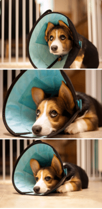 25 best cone of shame memes coning memes shaming memes