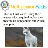 Memes, Husky, and Siberian Husky: NotCommonFacts  @Not common facts  Siberian Huskies will obey their  owners when required to, but they  prefer to be companions rather than  mere pets