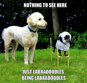 My friends imitating me and am just natural…: NOTHING TO SEE HERE  colobritydachshund.com  JUST LABRADOODLES  BEING LABRADOODLES My friends imitating me and am just natural…