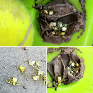 Nothing to see here. Just a nest filled with bulbous, paralyzed spiders awaiting getting eaten alive by wasp larva. Nope.: Nothing to see here. Just a nest filled with bulbous, paralyzed spiders awaiting getting eaten alive by wasp larva. Nope.