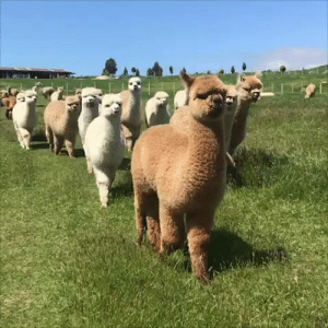 Happy, Sun, and The Sun: Nothing to see here... just a pack of happy Alpacas enjoying the sun 😍
