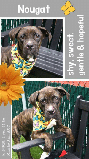 "A Dream, Best Friend, and Dogs: Nougat  Id 64919, 2 yrs. 61 lbs  Manhattan ACC  shy, sweet,  gentle & hopeful INTAKE DATE – 6/5/2019   Incredibly sweet, emaciated, LEVEL 1 rated girl, waits with hope for a family to pick her.  A dream dog!  *** REBOUND HOUNDS WOULD LOVE TO HELP NOUGAT! If you can foster this sweet girl, please let RBH know! Foster App: http://www.reboundhounds.org/foster-application.html ***  A volunteer writes:  ""Nougat is very sweet but our Nougat is the sweetest! She is shy and gentle and owns the most lovely googly eyes that make our hearts melt! Nougat is tall, lanky and dressed beautifully in a dark marble cake coat. Her ""Twiggy"" look calls unquestionably for hearty meals! Nougat trusts quickly and soon, her tail wagging hopeful, follows her caretaker for caresses and treats with encouraging words. What's not to love about Nougat? She is a dream gal who in your hands will transform from a timid and bony dog into a gorgeous, bouncy, playful, sociable and loving for ever best friend! Your magic touch is what she needs! Come meet Nougat at the Manhattan Care Center and take her home!""  Hurry and message our page or email us at MustLoveDogsNYC@gmail.com for assistance fostering or adopting this incredibly sweet girl.  MY VIDEO: Nougat is so sweet  <3 https://youtu.be/VFVCbJkg4NY  NOUGAT, ID# 64949, 2 yrs old, 61.2 lbs, Unaltered Female Manhattan ACC, Large Mixed Breed, Brown Brindle / White    Surrender Reason:  Found Stray  Shelter Assessment Rating: LEVEL 1  (the best!) Medical Behavior Rating:  2. Blue   BEHAVIOR NOTES  Behavior toward strangers: friendly towards finders  SHELTER ASSESSMENT SUMMARIES     Leash Walking Strength and pulling: None Reactivity to humans: None Reactivity to dogs: None Leash walking comments: None  Sociability Loose in room (15-20 seconds): Highly social Call over: Approaches readily Sociability comments: Body soft  Handling  Soft handling: Seeks contact Exuberant handling: Seeks contact Comments: Body soft, leaning in   Arousal Jog: Follows (loose) Arousal comments: None  Knock: Approaches (loose) Knock Comments: None  Toy: No response Toy comments: None  PLAYGROUP NOTES - DOG TO DOG SUMMARIES:  Summary: 6/5-6/6: When introduced off leash to the male greeter dog, Nougat is a bit nervous but does tolerate the approach. 6/7: Nougat greets another calm female dog politely but mostly seeks handler attention.   INTAKE BEHAVIOR: Date of intake: 5-Jun-2019 Summary: Friendly, calm, and quiet  ENERGY LEVEL: We have no history on Nougat so we cannot be certain of her behavior in a home environment. However, she is a, enthusiastic, social dog who will need daily mental and physical activity to keep him engaged and exercised. We recommend long-lasting chews, food puzzles, and hide-and-seek games, in additional to physical exercise, to positively direct her energy and enthusiasm.   IN SHELTER OBSERVATIONS: 6/5/19: Nougat approaches the front of the kennel and is easy to leash. She walks nicely on leash outside. She enjoys treats and pets. Treats were used to encourage her to go back into her kennel. BEHAVIOR DETERMINATION: Level 1 Behavior Asilomar H - Healthy  MEDICAL EXAM NOTES   10-Jun-2019  Progress Exam.  Hx; explosive diarreah and underweight; offered high fiber diet for 12hrs-- more formed but like pudding.  Because of the dog's body condition and chronic diarreah, rec'd a TLI test.  Gave sweet potato- 40 oz can-- ate all 10:30AM   9-Jun-2019  Progress Exam.  Offered 150z of sweet potato with some Pedigree (4 tablespoons and 2 tablespoons Gerbers chicken baby food)--- ate the entire amount.  Markedly underweight and explosive diarreah.  Plan) attempting to stabilize with special foods, also consider -- pancreatic insufficiency if continues to be underwght and has explosive diarreah.  9-Jun-2019  Physical Exam.  Subjective: Noted to have explosive diarrhea since intake on 6/6.  Objective: BAR, euhydrated, BCS 3/9, Resp rate: WNL, multiple episodes of #7 diarrhea noted in play yard during play group.  Assessment:   1. Diarrhea- likely large bowel - gastroenteritis vs parasites (giardia, coccidia vs other) vs malabsorption vs other.  Plan:  1. Metronidazole (15mg/kg) 500mg tablet PO BID x 3 days.  2. Add 1 (15oz) small can sweet potato to dog food BID x 5 days.  3. If no improvement in diarrhea score in 3 days, consider further diagnostics and therapies.  MG supervised by 1659  6-Jun-2019  DVM Intake Exam.  Estimated age: 2 years, Microchip noted on Intake? n Microchip Number (If Applicable): n.  History: Stray.  Subjective: BAR, euhydrated, MM pink/moist, CRT.  Observed Behavior: tail tucking; hesistant to approach but accepted lots of treats and allowed for full PE.  Evidence of Cruelty seen -n Evidence of Trauma seen -n.  Objective:  T = -, P = wnl, R = wnl.  EENT: Anterior chambers clear OU; no corneal defects; no ocular or nasal discharge; no oral masses or ulcerations seen - marked cerimonous debris AU.  Oral Exam: teeth in good cond – mild calculus; mild staining; all permanent teeth present.  PLN: No enlargements noted.  H/L: No murmurs or arrhythmias; strong, synchronous femoral pulses bilaterally; Eupneic; normal bronchovesicular sounds in all fields; no crackles/wheezes.  ABD: Non painful, no masses palpated.  U/G: Intact - no vulvar discharge.  MSI: BCS 3/9 ; Overgrown nails; Ambulatory x 4 with no lameness, skin free of parasites, no masses noted, healthy hair coat.  CNS: Appropriate menotation; no cranial nerve deficits; no proprioceptive deficits; no ataxia.  Rectal: externally normal.  Assessment: Underweight otherwise Healthy.     SURGERY:  Okay for surgery   Prognosis: Excellent   Other intake tasks  - Clean ears with otic solution  - Clipped nails  - Place TID feeding chart   *** TO FOSTER OR ADOPT ***    If you would like to adopt a NYC ACC dog, and can get to the shelter in person to complete the adoption process, you can contact the shelter directly. We have provided the Brooklyn, Staten Island and Manhattan information below. Adoption hours at these facilities is Noon – 8:00 p.m. (6:30 on weekends)  If you CANNOT get to the shelter in person and you want to FOSTER OR ADOPT a NYC ACC Dog, you can PRIVATE MESSAGE our Must Love Dogs page for assistance. PLEASE NOTE: You MUST live in NY, NJ, PA, CT, RI, DE, MD, MA, NH, VT, ME or Northern VA. You will need to fill out applications with a New Hope Rescue Partner to foster or adopt a NYC ACC dog. Transport is available if you live within the prescribed range of states.  Shelter contact information: Phone number (212) 788-4000 Email adopt@nycacc.org  Shelter Addresses: Brooklyn Shelter: 2336 Linden Boulevard Brooklyn, NY 11208 Manhattan Shelter: 326 East 110 St. New York, NY 10029 Staten Island Shelter: 3139 Veterans Road West Staten Island, NY 10309  *** NEW NYC ACC RATING SYSTEM ***  Level 1 Dogs with Level 1 determinations are suitable for the majority of homes. These dogs are not displaying concerning behaviors in shelter, and the owner surrender profile (where available) is positive.    Level 2  Dogs with Level 2 determinations will be suitable for adopters with some previous dog experience. They will have displayed behavior in the shelter (or have owner reported behavior) that requires some training, or is simply not suitable for an adopter with minimal experience.    Level 3 Dogs with Level 3 determinations will need to go to homes with experienced adopters, and the ACC strongly suggest that the adopter have prior experience with the challenges described and/or an understanding of the challenge and how to manage it safely in a home environment. In many cases, a trainer will be needed to manage and work on the behaviors safely in a home environment."