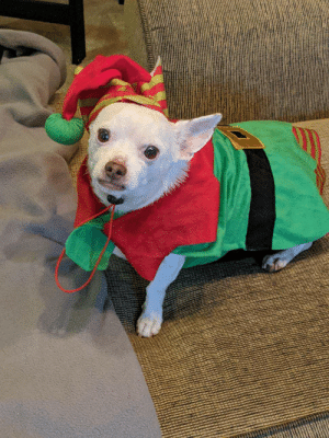 Now that turkey time is over, Moochie the elf is reporting for duty!: Now that turkey time is over, Moochie the elf is reporting for duty!
