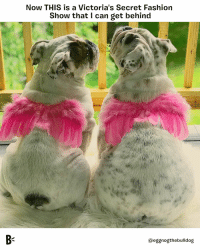 Fashion, Memes, and Victoria's Secret: Now THIS is a Victoria's Secret Fashion  Show that I can get behind  @eggnogthebulldog Can I get an AMEN for dog and human body positivity??? 👏😇 vsfashionshow victoriassecretfashionshow bodypositive largeandincharge chunkyyetfunky bodyodyody thickerthanabowlofoatmeal @eggnogthebulldog