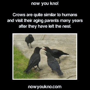 "Being Alone, Beautiful, and Brains: now you kno!  Crows are quite similar to humans  isit their aging parents many y  after they have left the nest.  and v  ears  nowyoukno.com 221cbakerstreet:  spookyrawr:  rassoey:  avianawareness:  aph-romania:  reallymisscoffee:  dansknapp:  stultiloquentia:  doctormemelordmd:  fangirling-so-hard-rn:  Crows are scaryThey use tools Can be taught to speak (like parrots) Have huge brains for birds like seriously their brain-to-body size ratio is equal to that of a chimpanzee They vocalize anger, sadness, or happiness in response to things they are scary smart at solving puzzles some crows stay with their mates until one of them dies they can remember faces SIDENOTE HERE BECAUSE HOLY SHIT.  They did an experiment where these guys wore masks and some of them fucked with crows.  Pretty soon the crows recognized the masks = douchebag.  But the nice guys with masks they left alone.  THEN, OH WE'RE NOT DONE, NO SIR crows that WEREN'T EVEN IN THE EXPERIMENT AND NEVER SAW THE MASK BEFORE knew about mask-dudes and attacked them on sight.  THEY PASSED ON THE FUCKING INFORMATION TO THEIR CROW BUDDIES. They remember places where crows were killed by farmers and change their migration patterns. Guys I'm really scared of crows now.(q)   Yeah but have you seen this    A colleague of my dad's lives next to a lake, and looked out the window one morning to see a duck trapped in the ice. A crow swooped down. ""Oh hell,"" she thought, expecting carnage, because crows are opportunists. But the crow chipped at the ice with its beak until the duck was free.  Idk of this counts but a few crows saved me from a magpie swooping attack once ,they're bros who can tell when magpies are being unreasonable and need to chill  I love crows so damn much. When I was fifteen, I hit a pretty serious bout of depression, to the point I was in my room for months. Well, a family of crows made a nest in a tree outside my window. There were two parents and two chicks. One chick was healthy and strong. One was weak, and had a caw like something being strained. It sounded more like a rooster crowing and so my parents jokingly named him 'Buck'.Well… months passed and Buck's sibling was taught to fly. His parents focused on the sibling because the sibling was strong. The father stayed behind to try and teach Buck, but I saw him try to fly, fail, and crash to the floor. His father helped him back up into the tree. Every day, I would watch Buck from my window until one day I opened it and started talking to him. He was small and gangly and he couldn't caw right. His feathers were all over the place and I felt a kinship. So I made a deal with him. I told him that if he could do it, if he could fly, then I could find the strength to get up. Well… near the end of the season, after talking with him every day, I finally saw him get out of the nest. He went to the edge of his branch, braced himself, and jumped… and just before he hit the ground, he soared back up into the sky. I cheered harder than I ever had before. That winter, Buck left the area. I was crestfallen. I felt like I'd lost a friend. But I was so damn proud of him.  Cut to the next spring? I'm walking up the driveway one day when suddenly I hear a sound… a broken caw. I look up, and Buck is sitting in a tree above my head. He stared at me and puffed his feathers, then hopped down in front of me and cawed again. I was so damn thrilled, and I told him how proud I was of him. He ruffled his feathers and then soared off into his old tree.  That summer? I heard two broken caws. One from Buck… and one from his chick. Cut to ten years later? We have a family of crows who all have a very distinct caw and they come here and spend every spring, summer, and fall on our property. Buck still greets me every spring.  that last reply made me wanna cry. that's so beautiful.  Don't forget the Russian Crow SLEDDING DOWN A ROOF not once, but twice.   this one morning i kept hearing really loud caws, i remember it was like 5am, LIKE REALLY LOUD AND ANNOYING AND AGGRESSIVE, so loud that i could hear it through a closed window, and i eventually went outside to check it out. there was a crow on my front lawn, it had an injury on its head and couldn't fly and there were two other crows circling right above it, and they were cawing like mad.  i tried to get close and take a better look and one of them dived super low and tried to attack me. so i went back in the house and chopped some sliced raw meat and tossed it at him from a distance. a few more times later, very soon after, they could tell i was trying to help, and did not attack me. i was ""allowed"" to walk up close and pick him up, he couldn't drink water properly so i had to dip my finger in a bowl and stick it in his mouth. i did this few times a day and it went on for about a week before he disappeared, i thought he recovered and left, but he came back the next day and lands on me, and i see him around the block quite often, and he would come sit on my shoulder for a few minutes and then fly away again. i feel like i've adopted a son.  Best birbs !!   your son is Beautiful and Strong"