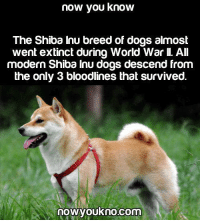 Wow: now you know  The Shiba Inu breed of dogs almost  went extinct during World War All  modern Shiba Inu dogs descend from  the only 3 bloodlines that survived.  nowyoukno.com Wow