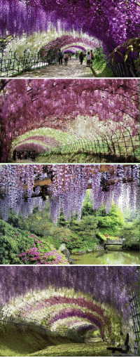 Xxx, Flower, and Flowers: nsw   い Take me to the Wisteria Flower Tunnel in Japan! 😍🌺🌸
