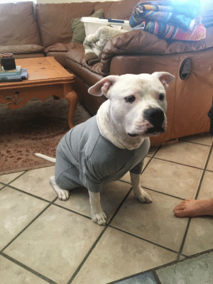Allergy Update - vet recommended a T-shirt to keep the seasonal allergies down. Here he is!: ntite Companion  joat chfton Allergy Update - vet recommended a T-shirt to keep the seasonal allergies down. Here he is!