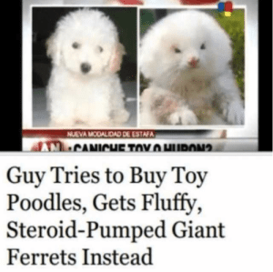 A small reminder that nothing is ever a sure thing. #expectation #reality #lol #fail: NUEVA MODALIDAD DE ESTAFA  CANICHE TOYHURON  Guy Tries to Buy Toy  Poodles, Gets Fluffy  Steroid-Pumped Giant  Ferrets Instead A small reminder that nothing is ever a sure thing. #expectation #reality #lol #fail