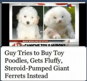 poodles: NUEVA MODALIDAD DE ESTAFA  Guy Tries to Buy Toy  Poodles, Gets Fluffy  Steroid-Pumped Giant  Ferrets Instead