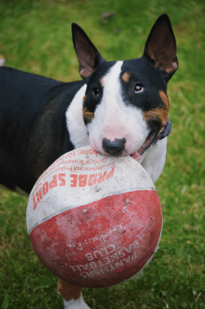 Tumblr, Blog, and Http: nufacueis of Profe  ne: (013 ofbullterriers:  Daisy found her favourite toy from wayback when; a half-deflated basket ball. She's been carrying it around with her wherever she goes!