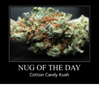 Candy, Memes, and 🤖: NUG OF THE DAY  Cotton Candy Kush
