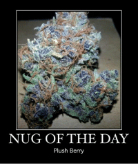 Memes, 🤖, and Nug: NUG OF THE DAY  Plush Berry