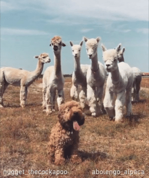 """My GOD, who is his hairdresser?""  📹nugget_thecockapoo