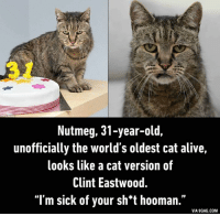 Clint Eastwood: Nutmeg, 31-year-old,  unofficially the world's oldest cat alive,  looks like a cat version of  Clint Eastwood.  I'm sick of your sh*t hooman.  VIA 9GAG.COM