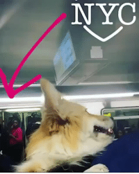 "Corgi, Instagram, and Subway: NYC <p><a href=""http://tumblr.tastefullyoffensive.com/post/165091755221/i-carry-my-fluffy-corgi-in-a-backpack-on-the-nyc"" class=""tumblr_blog"">tastefullyoffensive</a>:</p><blockquote><p>""I carry my fluffy corgi in a backpack on the NYC subway."" (<a href=""https://streamable.com/26kd1"" title="""">Part 2</a>)<br/><br/>via <a href=""https://www.instagram.com/madmax_fluffyroad/?hl=en"">Madmax_Fluffyroad</a></p></blockquote> <h2>Todas las reacciones que puede generar un Corgi en el metro</h2>"
