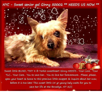 Animals, Apparently, and Desperate: NYC  Sweet senior gal Ginny s0002**NEEDS US NOW**  Sweet little BLIND, TINY 4 lb Yorkie sweetheart Ginny NEEDS... Your Love... Your  TLC... Your Care... You to save her... You to love her forevermore... Please, please,  open your heart & home to this precious little moppet & inquire about her now,  before it is too late! This sweet little 14 yr young lady waits for you to  save her life at the Brooklyn, NY ACC. **FOSTER or ADOPTER NEEDED ASAP**  NYC - Sweet senior gal Ginny ** NEEDS US NOW ** Sweet little BLIND, TINY 4 lb Yorkie sweetheart Ginny NEEDS... Your Love... Your TLC... Your Care... You to save her... You to love her forevermore... Please, please, open your heart & home to this precious little moppet & inquire about her now, before it is too late! This sweet little 14 yr young lady waits for you to save her life at the Brooklyn, NY ACC.  ✔Pledge✔Tag✔Share✔FOSTER✔ADOPT✔Save her life!  Ginny 50002 Small Mixed Breed Sex female Age 14 yrs (approx.) - 4 lbs My health has been checked.  My vaccinations are up to date. My worming is up to date.  I have been micro-chipped.  I am waiting for you at the Brooklyn, NY ACC. Please, Please, Please, save me!  Date Found: 12/7/2018 Found Location: Beach Channel Drive, Far Rockaway, NY 11691  ****************************************** To FOSTER or ADOPT,  SPEAK UP NOW & Save a Life:  Direct Adopt from the ACC Or Apply with rescues Or Message Must Love Dogs - Saving NYC Dogs for assistance ASAP!!! ****************************************** The general rule is to foster you have to be within 4 hours of the NYC ACC approved New Hope partner rescues you are applying with and to adopt you will have to be in the general NE US area; NY, NJ, CT, PA, DC, MD, DE, NH, RI, MA, VT & ME (some rescues will transport to VA).  =================================  Date of Intake 7-Dec-2018  Basic Information: Ginny is a small gray and tan female Yorkie that was brought to the center as a stray.   Behavior upon intake:  Ginny allowed to be picked up and scanned. She scanned positive for a microchip.  DVM Intake Exam Estimated age: 14 yrs Microchip noted on Intake? yes History: Finder brought dog to precinct, apparently found by another person as a stray Subjective: Recumbant on her R side when presented, unable to get up. But when placed sternal, she stayed in that position and ate canned food well. Dull mentation but very interested in food.  Observed Behavior - Quiet, eating well. Evidence of Cruelty seen -n Evidence of Trauma seen -n EENT: Eyes-marked nuclear sclerosis, cataracts noted, no PLR, slight menace more on left than right, mild serous d/c.  Ears clean, no nasal discharge noted Oral Exam: All teeth missing. PLN: No enlargements noted H/L: NSR, NMA, CRT < 2, Lungs clear, eupnic ABD: Non painful, no masses palpated U/G: female, no spay scar seen, prominent vulva - no discharge, large nipples, firm 1 cm oblong sq mass just caudal to MG # 2 on the left - suspect mammary mass MSI: Non- ambulatory, skin free of parasites, no other masses noted, healthy hair coat, very thin with generalized muscle wasting. CNS: Mentation dull - difficult to assess full neuro. No head tilt or tremors. Holds head up but appears somewhat weak. Some small movement of legs. Assessment: 1. Geriatric intact female Yorkie - suspect chronic underlying 2. Very thin 3. Non-ambulatory - r/o weakness vs neuro 4. Mammary mass 5. Blind  Plan: Hospitalize in medical - heat support, monitor temp and E/D/BM. Intake tasks - hold off on vx but ok to give dewormer. BW: CBC - mod leukocytosis= 23.98 (neutrophilia)- r/o infxn vs inflam vs stress leukogram. Chem - mild inc BUN=41 (r/o renal vs dehydration vs GI hemorrhage),  and hyperphosphatemia =7.5 (r/o renal vs bone lesions vs increased intestinal absorption/ intestinal lesions vs hyperparathyroidism. dec Cr=0.2 (r/o muscle wasting/thin), hypoglycemia = 54 (nutritional vs liver), hyperglobulinemia = 4.7 (r/o infxn vs inflam) T4= 0.9 low - r/o sick euthyroid  4:00pm - Dog sleeping comfortably in cage. - Ate some earlier but did not finish food. - Removed bear hugger heat device.  SURGERY: Permanent waiver due to geriatric age.  ... NOTE: *** WE HAVE NO OTHER INFORMATION THAN WHAT IS LISTED WITH THIS FLYER *** - For more information or to adopt, please EMAIL adopt@nycacc.org  - SUBJECT Line: ** Dogs Name & ID# **  - Don't forget to add your email address and phone numbers where they can reach you to your email as well. .... RE: ACC site Just because a dog is not on the ACC site does not mean they are safe by any means. There are many reasons for this like a hold or an eval has not been conducted yet or the dog is rescue-only... the list goes on... Please, do share & apply to foster/adopt these pups as well until their thread is updated with their most current status. TY!  ============ Shelter address ========== - Brooklyn Shelter: 2336 Linden Boulevard, Brooklyn, NY 11208  - Phone number: 212-788-4000 (is automated only) Operating hours: Monday through Friday 12.00pm to 8.00pm, Saturday & Sunday: 10.00am to 6.00pm. Closed on all Holidays. =================================  == About Must Love Dogs - Saving NYC Dogs == We are a group of advocates (NOT a shelter NOR a rescue group) dedicated to finding loving homes for NYC dogs in desperate need. ALL the dogs on our site need Rescue, Fosters, or Adopters & that ASAP as they are in NYC high-kill shelters. If you cannot foster or adopt, please share them far & wide. Thank you for caring!! <3 ================================ ++++ https://nycaccpets.shelterbuddy.com/animal/animalDetails.asp?task=search&advanced=1&rspca_id=50002&animalType=1%2C2%2C15%2C3%2C16%2C15%2C16%2C86%2C79&datelostfoundmonth=12&datelostfoundday=8&datelostfoundyear=2018&find-submitbtn=Find+Animals&tpage=1&searchType=2&animalid=89129 Caro Hocker Carolin Hocker Beamer Maximillian Anarchy Animal Rescue & Rehabilitation Michele St Laurent Susan Klingbeil Gangs Of New Yorkie Jennifer Faga' Wendy Frohlich Caldwell Lorraine Healy Jody Harris-Stern