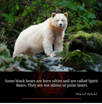 polarity: O Anth  Some black bears are born white and are called Spirit  Bears. They are not albino or polar bears.  Weird World