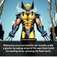 What you eat your own flesh to survive? • marvel marvelcomics comics marvelheroes marvelvillains hero heroes villains villain avengers avengersassemble marvelstudios marvelmovies marvelfacts marvelcomicfacts dailyfacts comicfacts comic mcu dailycomicfacts: O DAILYCOMICFACTS  Wolverine once survived for six months under  a glacier by eating strips of his own flesh (with  his healing factor growing his flash back) What you eat your own flesh to survive? • marvel marvelcomics comics marvelheroes marvelvillains hero heroes villains villain avengers avengersassemble marvelstudios marvelmovies marvelfacts marvelcomicfacts dailyfacts comicfacts comic mcu dailycomicfacts