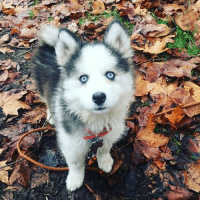 9gag, Hello, and Memes: o. Hello Callie, aren't you the most beautiful pup ever. Follow @9gag @9gagmobile 9gag husky samoyed (credit: 9agger linemetal)
