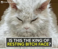 Memes, 🤖, and Resting Bitch Face: O POMPOUS ALBERT  IS THIS THE KING OF  RESTING BITCH FACE? Credit: Pompous Albert
