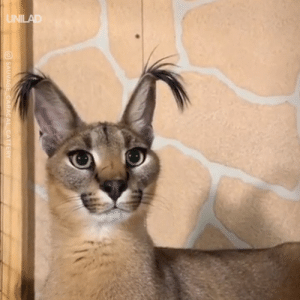Caracal cats have to be the strangest animal I've ever seen 😲😱: O SAUVAGE CARACAL CATTERY Caracal cats have to be the strangest animal I've ever seen 😲😱