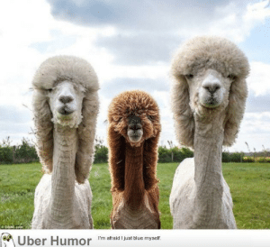 failnation:  These Alpacas could rock an album cover: O SWNS.com  Uber Humor 'm afraid just biue myet failnation:  These Alpacas could rock an album cover