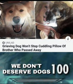 Grieving: O UNILAD  Grieving Dog Won't Stop Cuddling Pillow Of  Brother Who Passed Away  WE DON'T  DESERVE DOGS