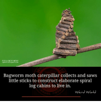 Memes, Saw, and Weird: O2016, NICKY BAY  somacroblogspot.com  Bagworm. moth caterpillar collects and saws  little sticks to construct elaborate spiral  log cabins to live in  Weird World Image by : Nicky Bay