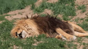 Target, Tumblr, and Animal: obeekris:  bigcatslions:  Hercules - is a rescued Lion that lives at the Wild Animal Sanctuary in Colorado, and like other lions there, he sometimes dreams of roaring while he is sleeping  He sounds like a pull cord lawn mower that won't start up