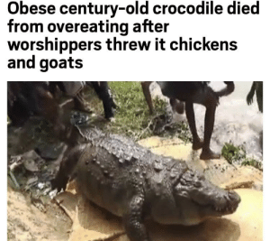 Crocodile: Is awesome and lives for an entire century. People: Nah fam, we cannot let you do that anymore: Obese century-old crocodile died  from overeating after  worshippers threw it chickens  and goats Crocodile: Is awesome and lives for an entire century. People: Nah fam, we cannot let you do that anymore